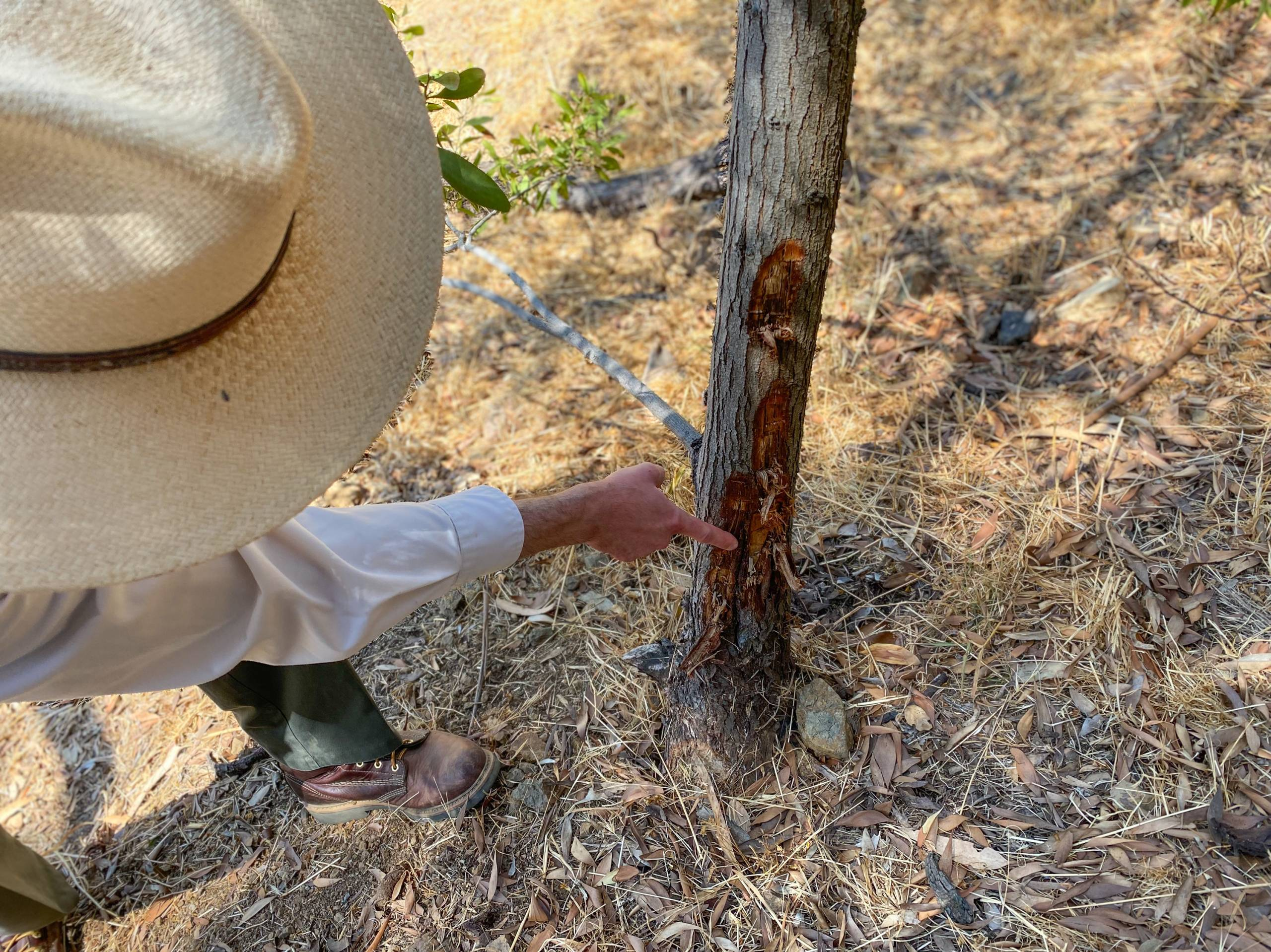 A man in a wide-brimmed hat points to a hole on an acacia trunk.