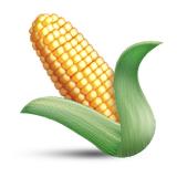 ear-of-maize