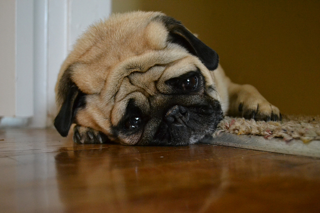 A pug, possibly disheartened by a Damp Squib Event. Image: Flickr Creative Commons