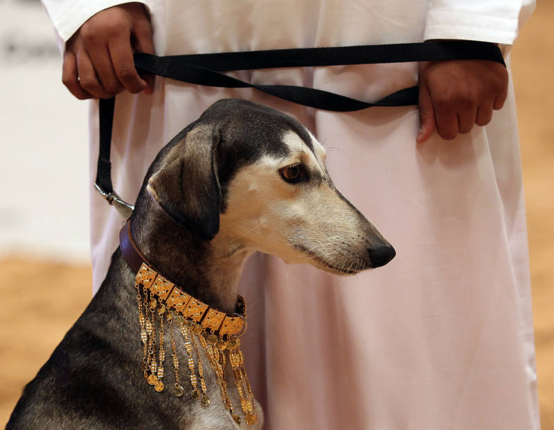 This Saluki dog has an ornate gold collar because of its noble ancestry... and also because it's taking part in a Saluki beauty contest, which is 100% a real thing in Abu Dhabi.
