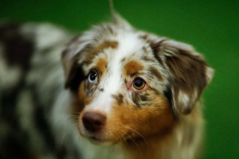 This ridiculously cute Miniature American Shepherd was one of seven new breeds who only became eligible to compete in the Westminster Kennel Club Dog Show in 2016.