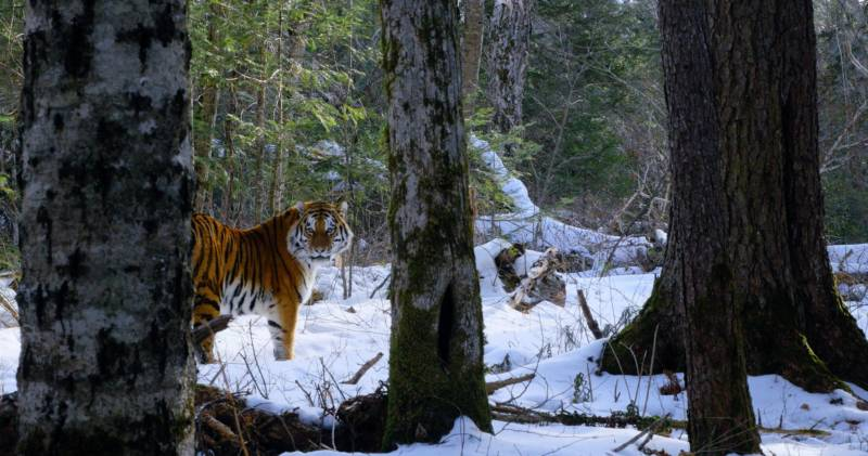 A Siberian tiger is caught on camera in the boreal forests of Russia's Pacific Coast.