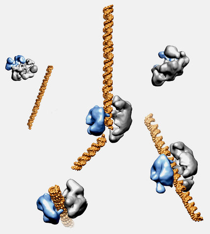 The enzyme Cas9, shown in blue and gray, can cut DNA, shown in gold, at selected sites. The enzyme can be programmed to snip out mutated DNA and replace it with healthy DNA. This model was created from electron microscope images. (David Taylor and Jennifer Doudna/UC Berkeley)