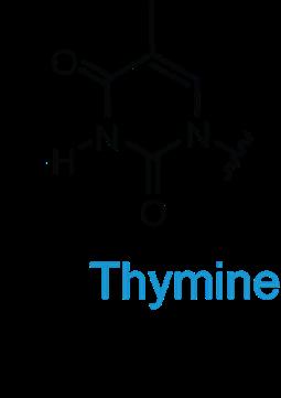 DNA_thymine_1