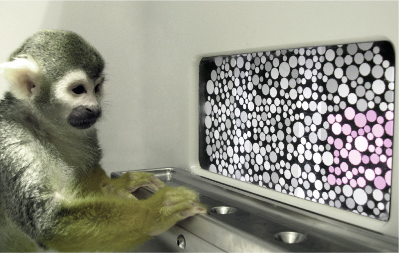 Dalton the squirrel monkey during the color vision test. (Courtesy Neitz Laboratory)