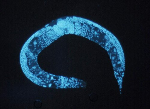 It took just a few, small genes to make this little roundworm live four times as long as it normally would. Maybe we can find something similar in people. (Wikimedia Commons)