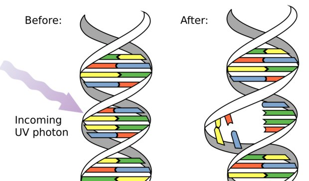 Most cancers happen when key DNA is damaged or is copied incorrectly. (Wikimedia Commons)