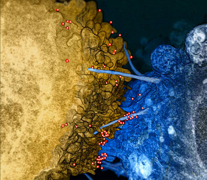 This rendering shows HIV virions (red) on bridges between an infected T cell (gold) and uninfected brain cell (blue) in vitro.