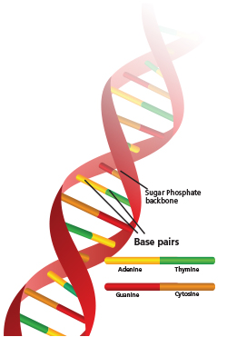 Genes issue instructions to make proteins, which run the functions of our cells. Genes make up 1-2 percent of our DNA.