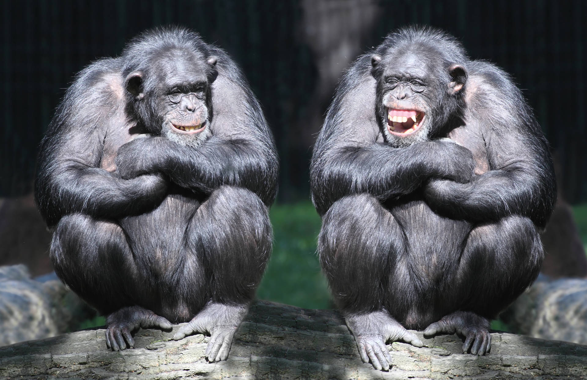 Stock image of two chimpanzees.