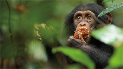 'Chimpanzee': Oh, The Humanity!-