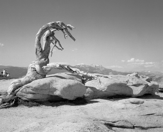 Mark Klett and Byron Wolfe, The Trunk of the Jeffrey Pine, Killed by Drought, Sentinel Dome, 2002; courtesy the artists.