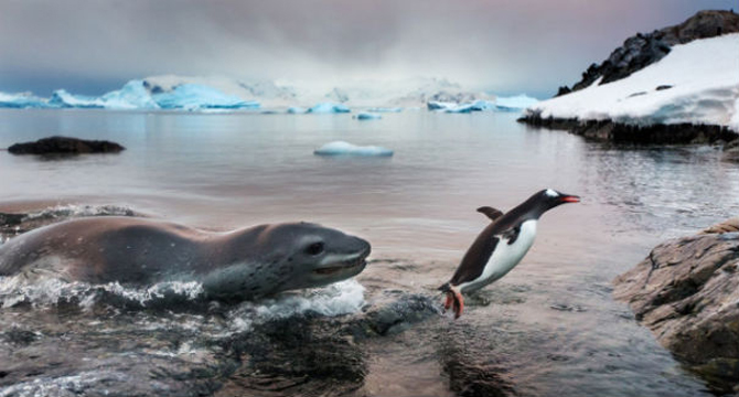 'The Luckiest Penguin,' BigPicture's grand prize winner. Photo: Paul Sauders.
