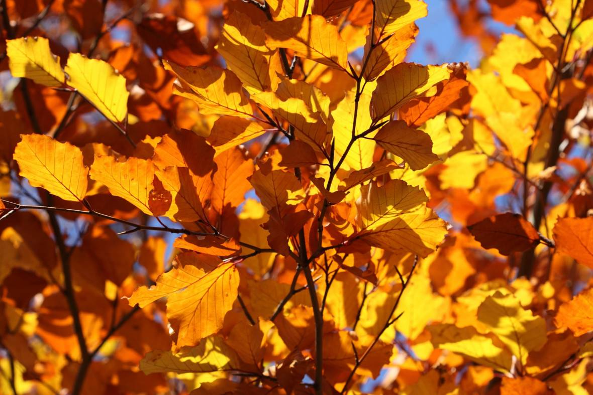 Don't believe the hype! When fall comes to the Bay Area, you can see the leaves change color — you just have to travel.