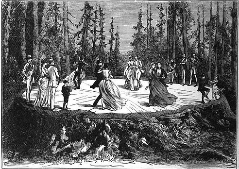 An etching of The Discovery Tree Stump. The image informed the creators of 'Girls of the Golden West.'