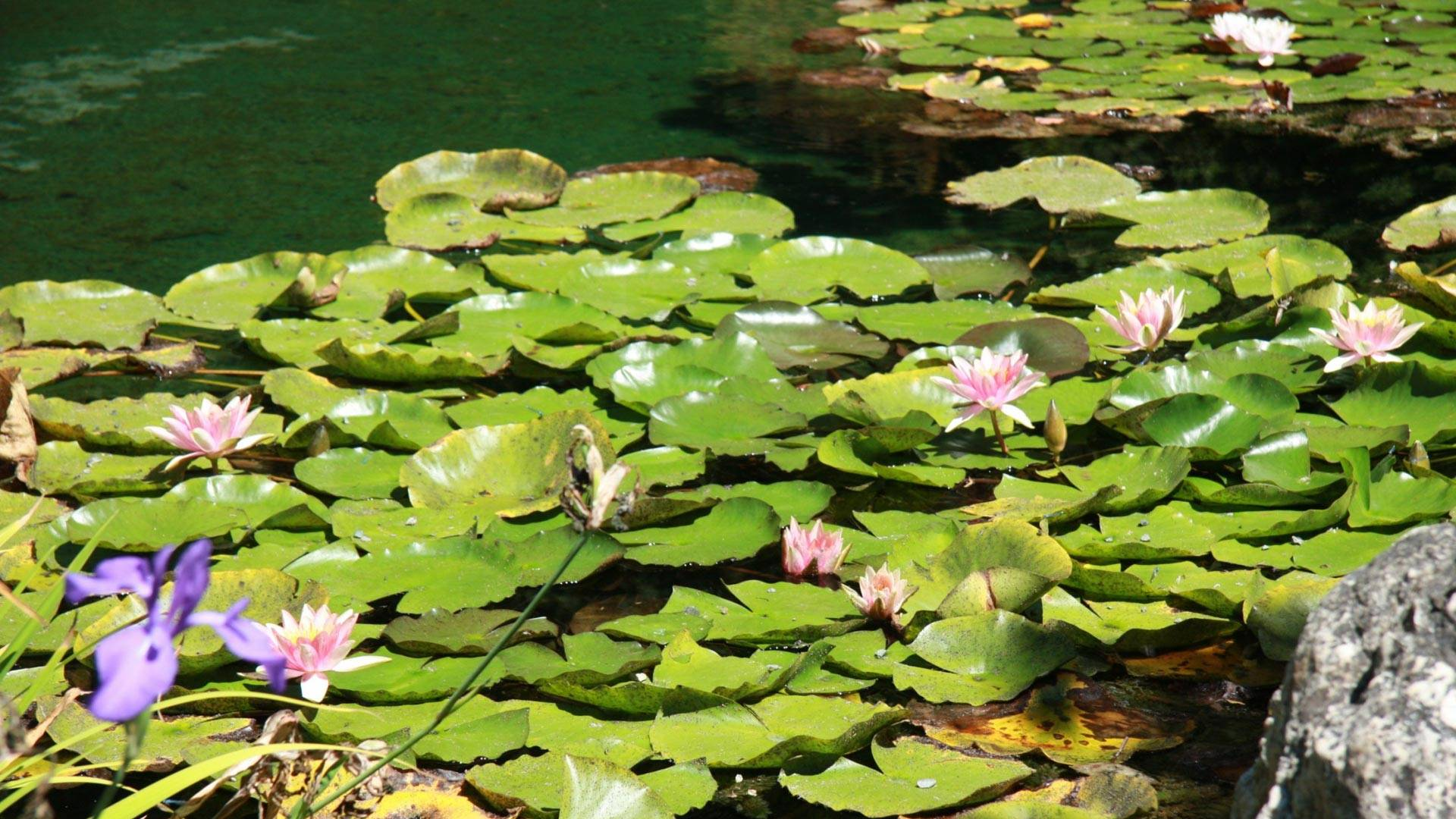 Water lilies in the Japanese Pool at UC Botanical Gardens.