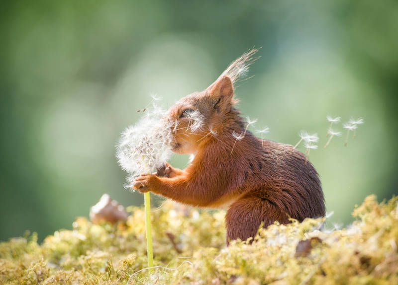 This squirrel in Sweden better have some wishes in mind—and fast—with the wind blowing those dandelion seeds like that.