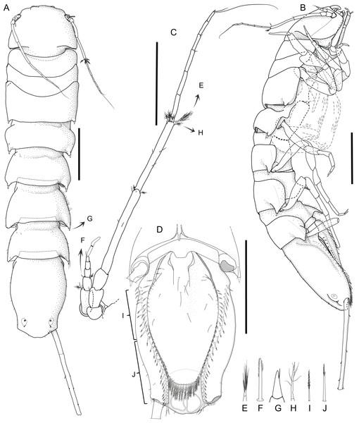 """Macrostylis metallicola n. sp. holotype ♀ 879 (SMF 50941) digitized pencil drawings of habitus."""