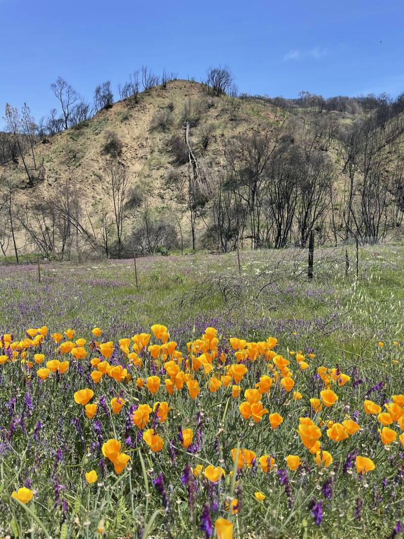 A field of wildflowers bloom on the side of the road near California's Lake Barryessa.