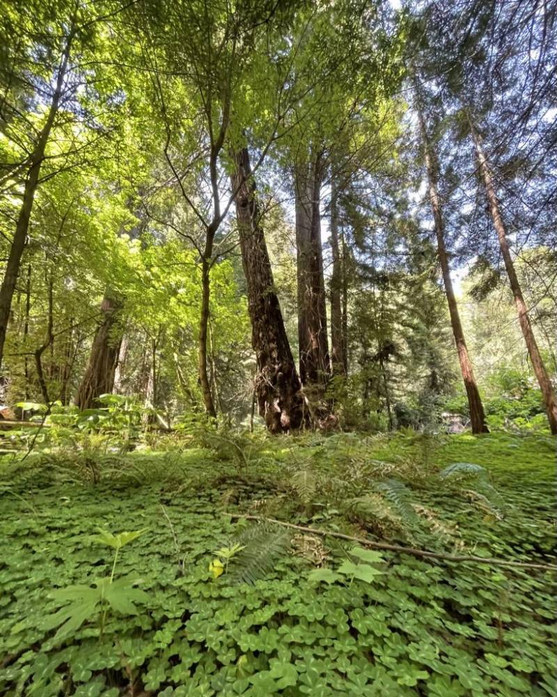 A clearing in Muir Woods