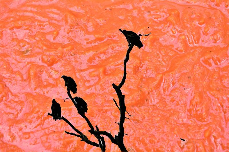 Four black vultures sit on a dead tree with a bright neon orange background