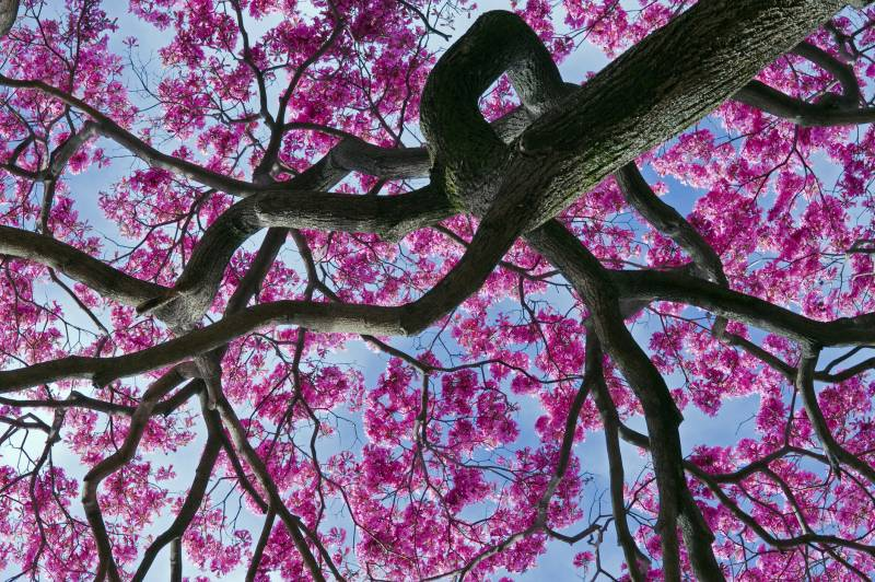 An bug's eye view looking up of a pink blossom tree and it's branches