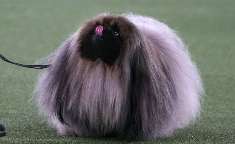 Wasabi, in the process of winning Best in Show at the 145th Annual Westminster Dog Show. Haters gonna hate.