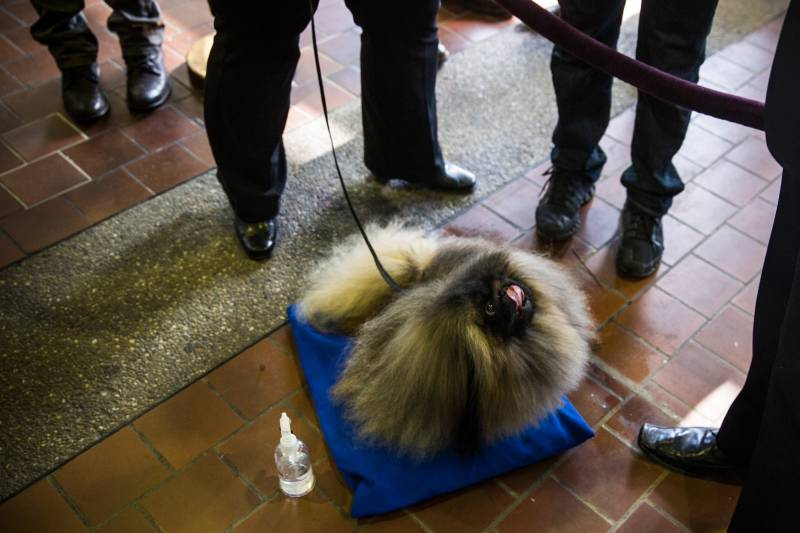 Cooper, waiting to compete in the 138th annual Westminster Dog Show in 2014.