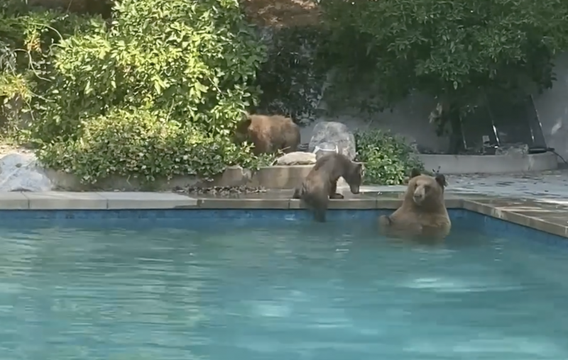 The mama bear and her two cubs that took a dip in the Kress family pool, Sierra Madre.