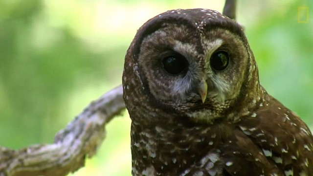 "Screenshot from National Geographic film ""Shooting Owls to Save Other Owls."""