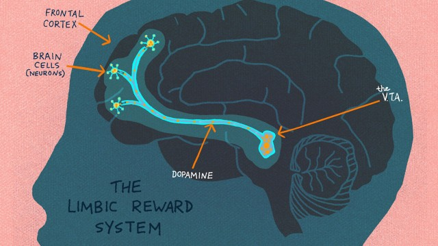 The Limbic Reward System lights up when curiosity is piqued. (LA Johnson/NPR)
