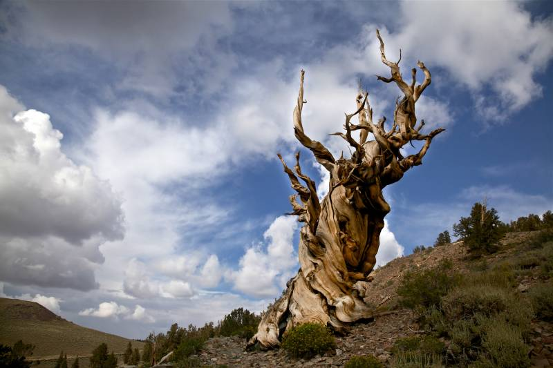 Ancient Bristlecone Pine Tree and Storm Clouds