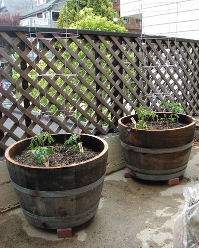 Urban Tomato Garden