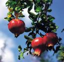 Pomegranates: 50 Years a Family Tradition