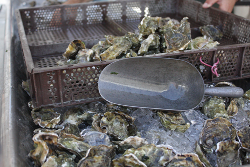 Hog Island Oyster Co., X-Small Sweetwaters