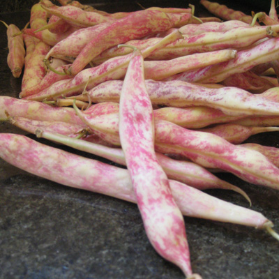 cranberry beans in the pod
