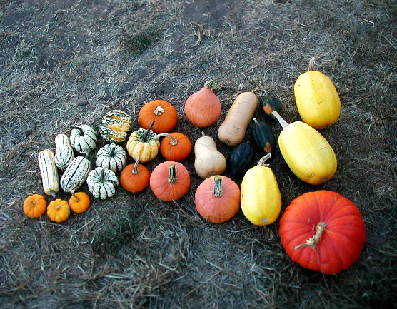winter squash family