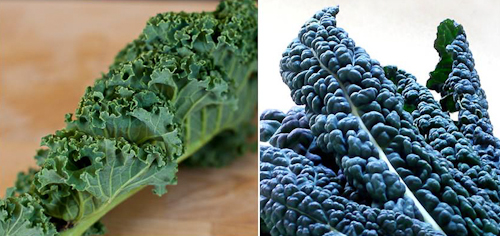 curly Scots kale and Tuscan kale