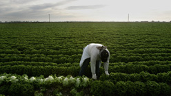 A farmworker harvests lettuce near the border town of Calexico, California. Photo: Hector Mata/Getty
