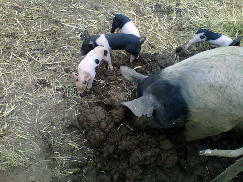 Olivia the sow and her piglets