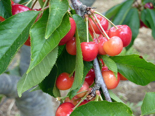 Cherries hanging from the tree