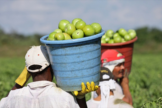 Tomato pickers in Immokalee, Florida. Photo by Scott Robertson