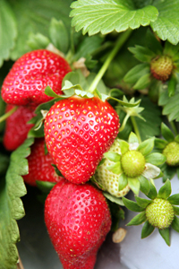 Strawberries - Organic or not?
