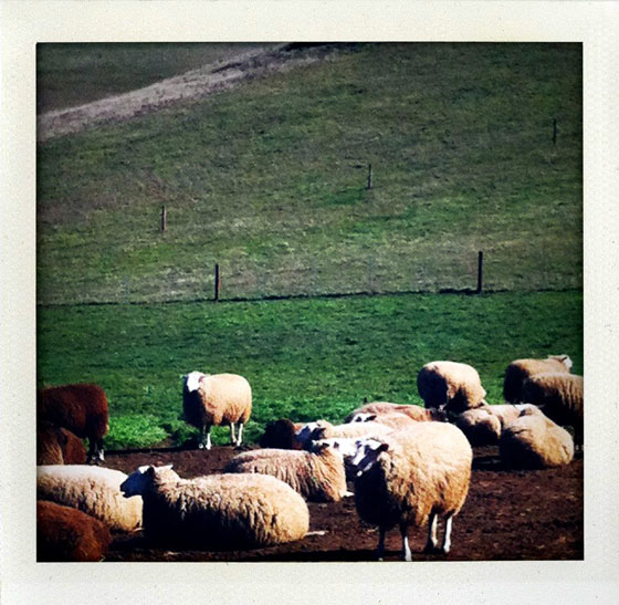 Ewes on the ranch