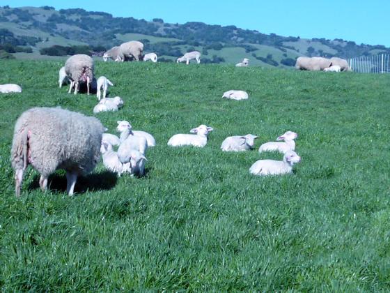 Lambs in Petaluma