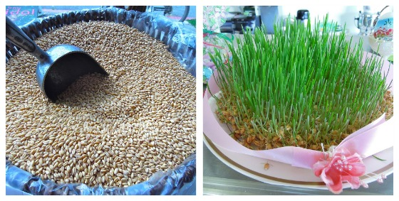 norooz wheat