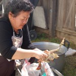 The mother-in-law plucks the chicken in her backyard.