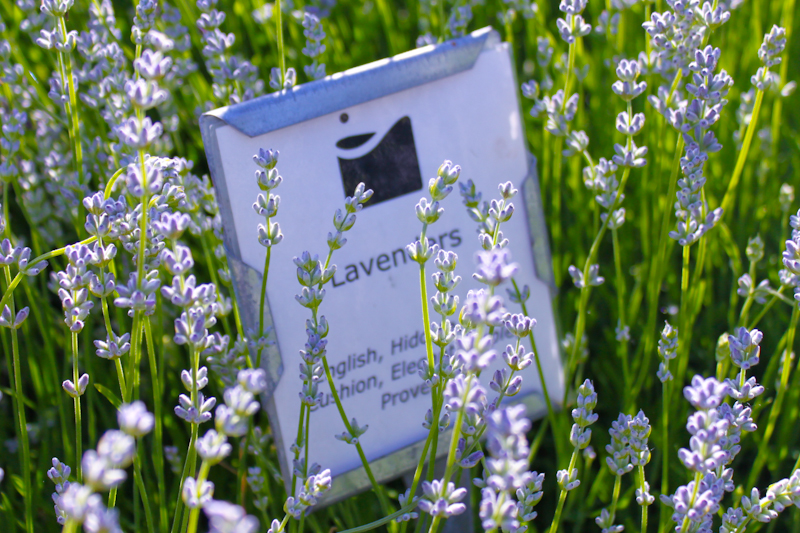 Lavender Growing at the Medlock Ames Tasting Room