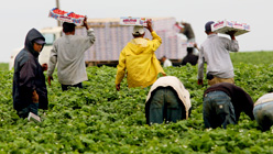 Farmworkers harvest strawberries at a farm in Carlsbad, California. Sandy Huffaker/Getty Images