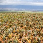 Maui Gold Pineapple Farm